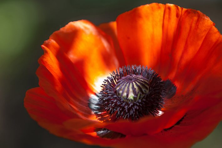 Poppy seed recipe nougatine another reason the poppy commemorates wars is because in europe it easily colonizes the disturbed soils of mass graves thus it is said that the poppy mightylinksfo